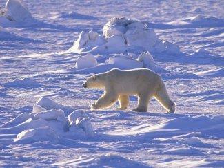 oso_polar1.jpg